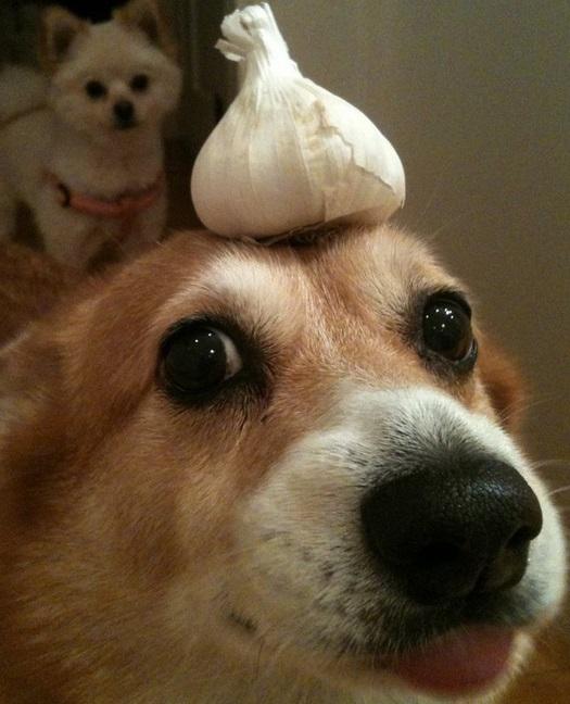 The Garlic Derp Dog