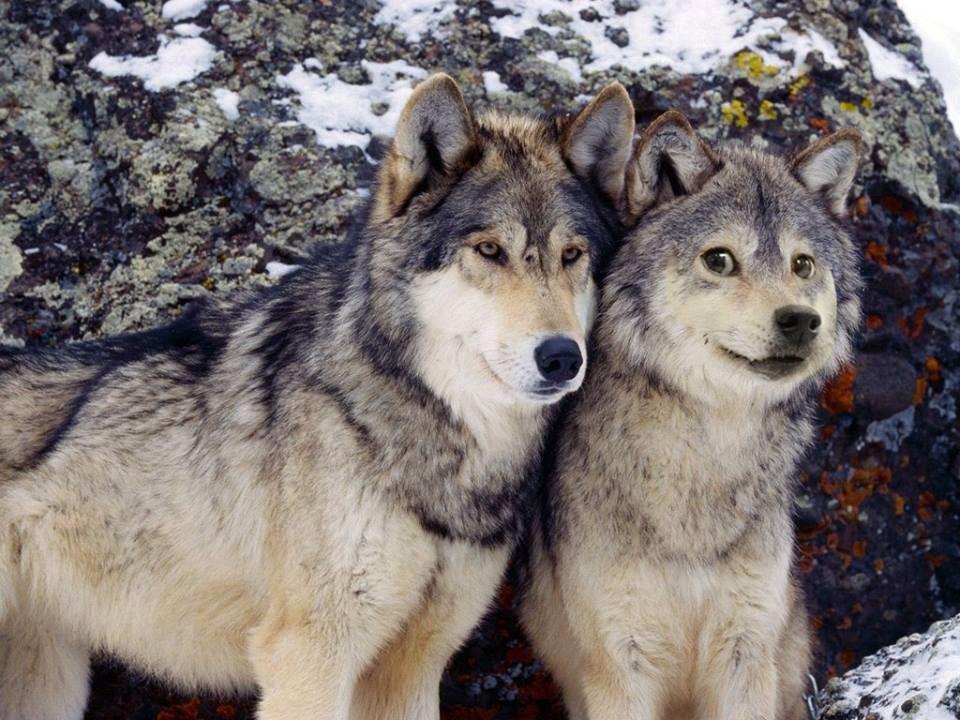 Worlds greatest wolf