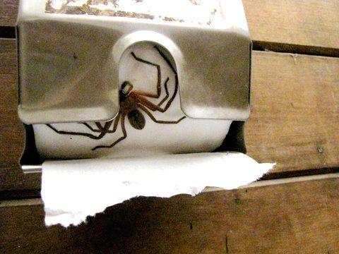 Spider inside toilet paper roll