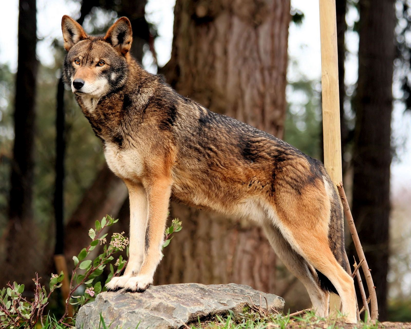 The beautiful and critically endangered red wolf