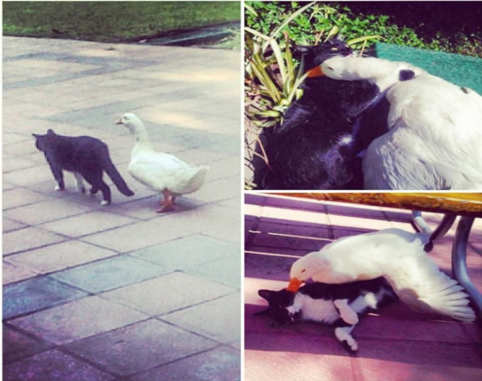 My University has a cute couple... A cat and a duck