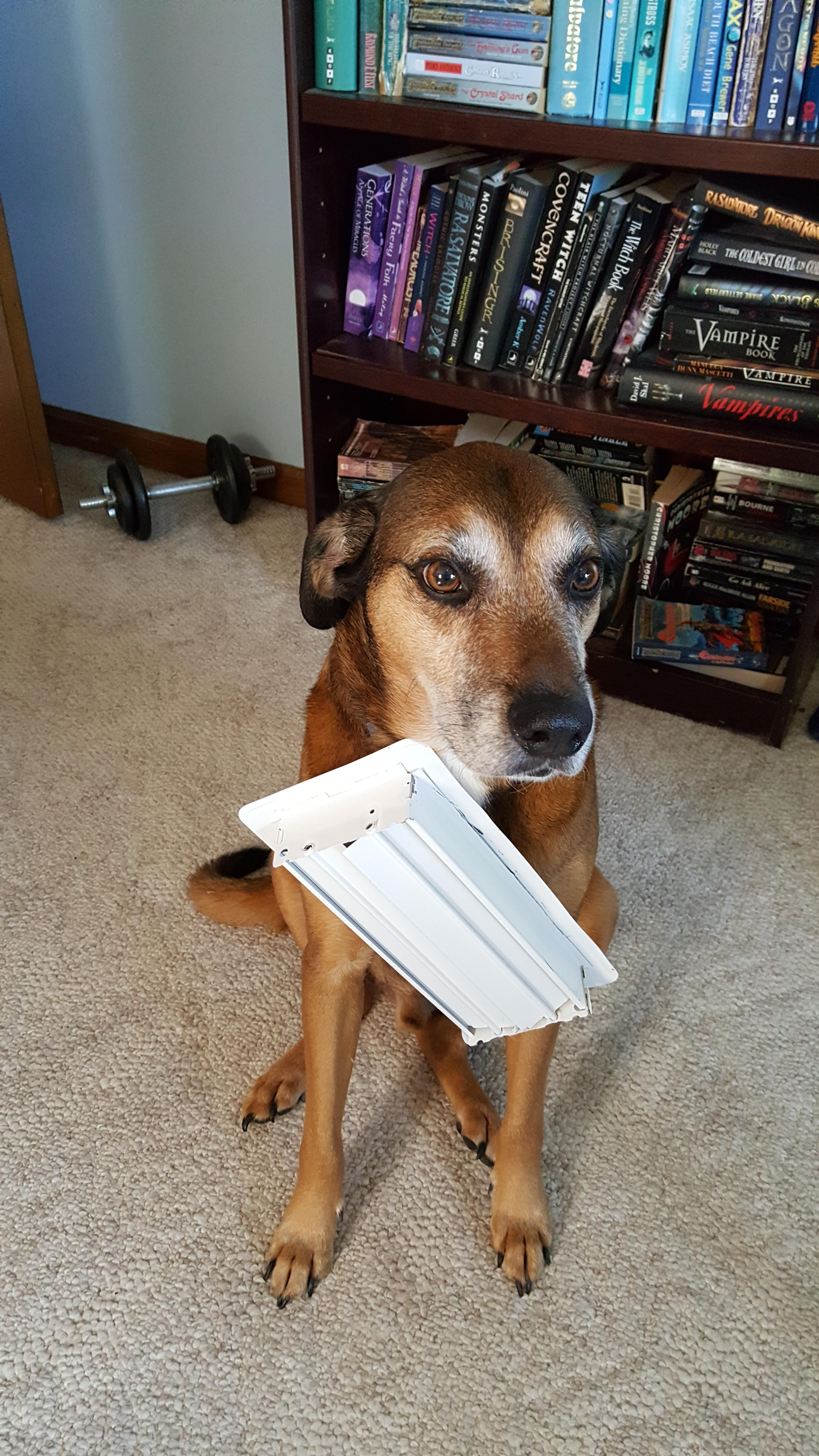 My dog is...special. Somehow he got the floor vent stuck to his collar...rip'd it off the floor then walked around like this was normal.