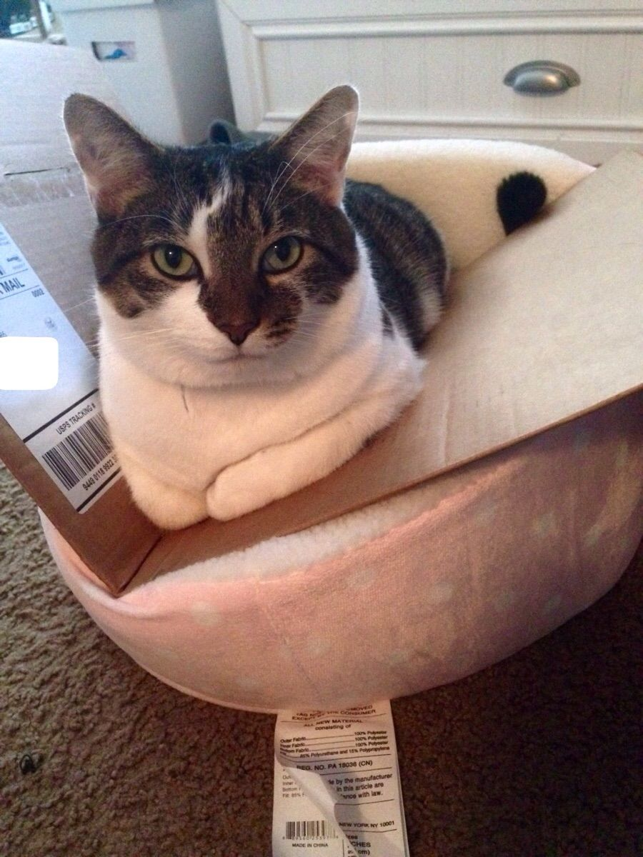 Roommate bought a bed for her cat. We finally figured out how to make him sit in it.
