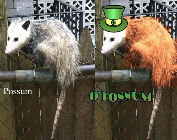 Possum Vs Opossum