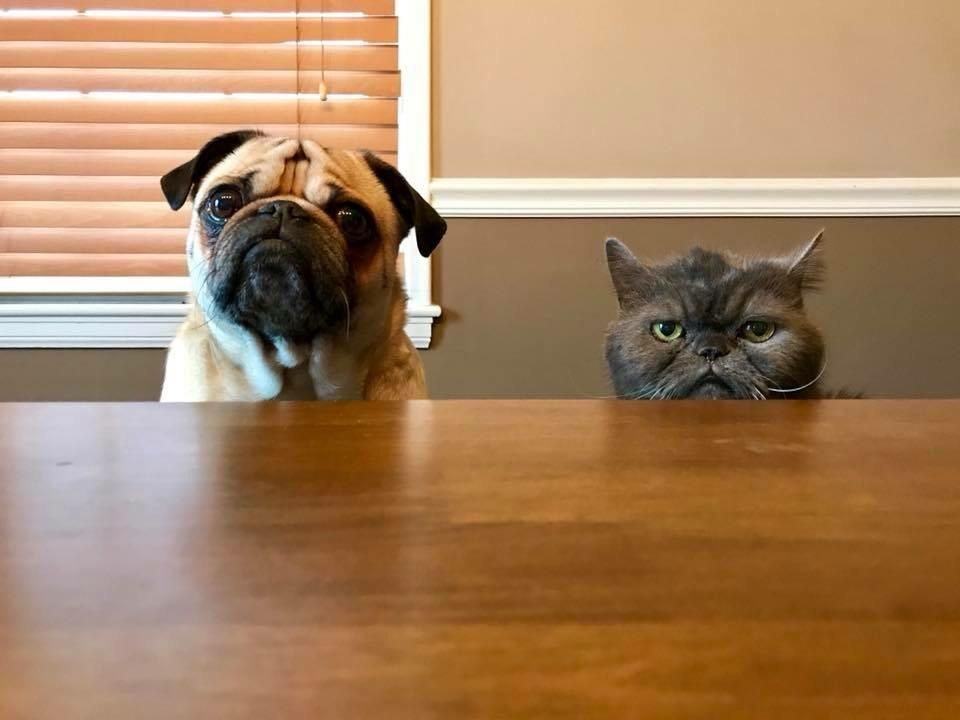 The pug is the concerned mother, while the cat is the disappointed father.