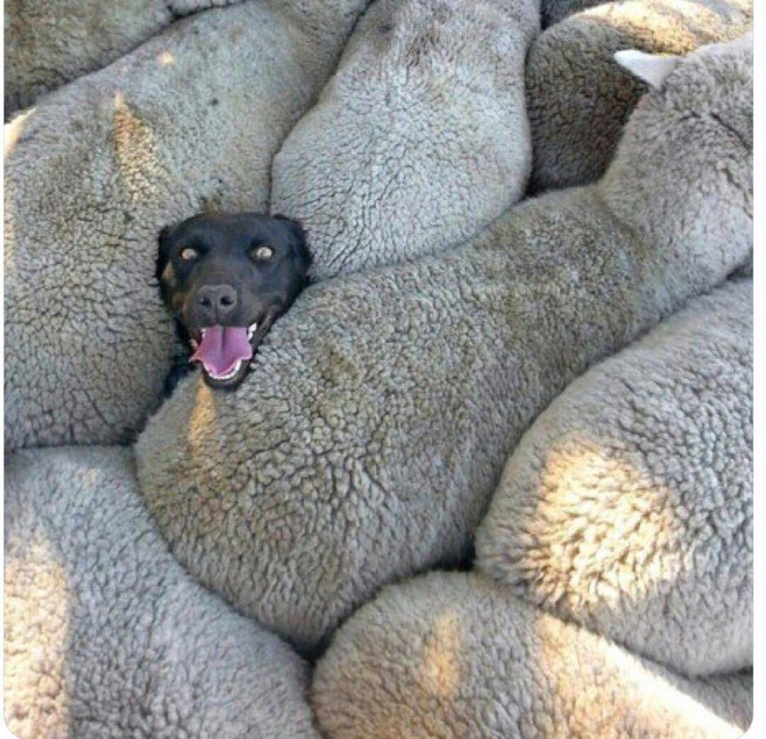 Dog stuck between sheeps