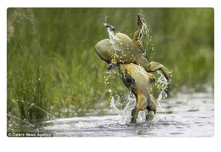 Stone Toad Steve Austin