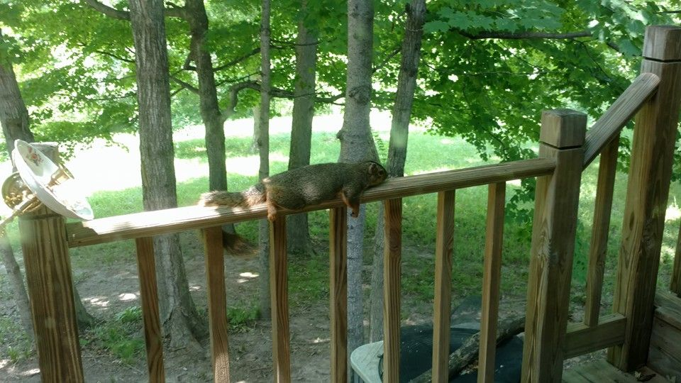 It was so hot in Indiana the other day, the squirrels just plopped down on our rails
