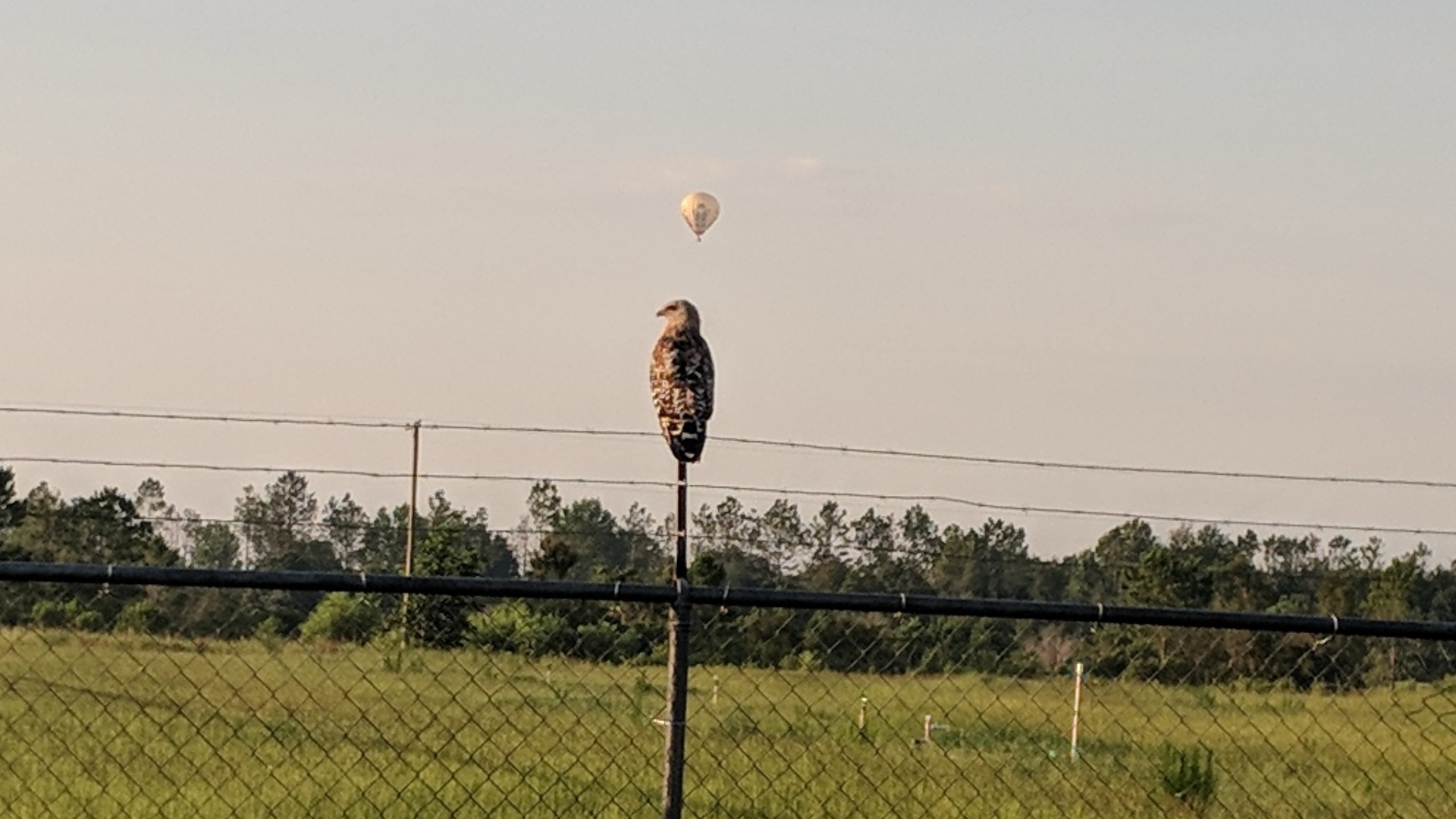 Either there's a hot air balloon in the distance, or this hawk just had a great idea