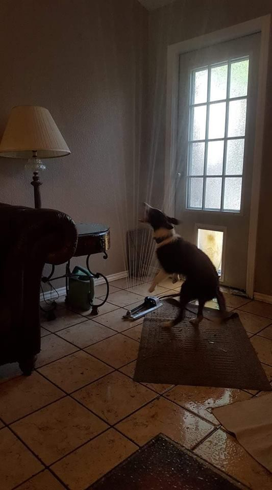 Friend of a friend's pooch dragged the sprinkler in through the doggy door...