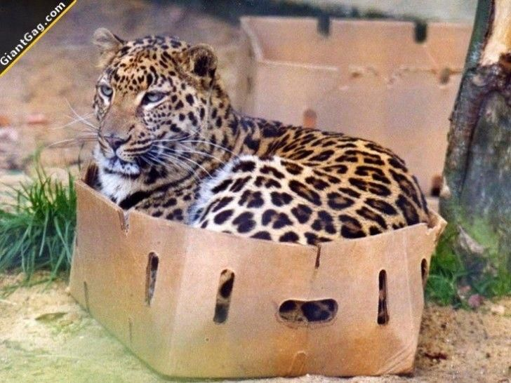 A cat is a cat is a cat, regardless of size.