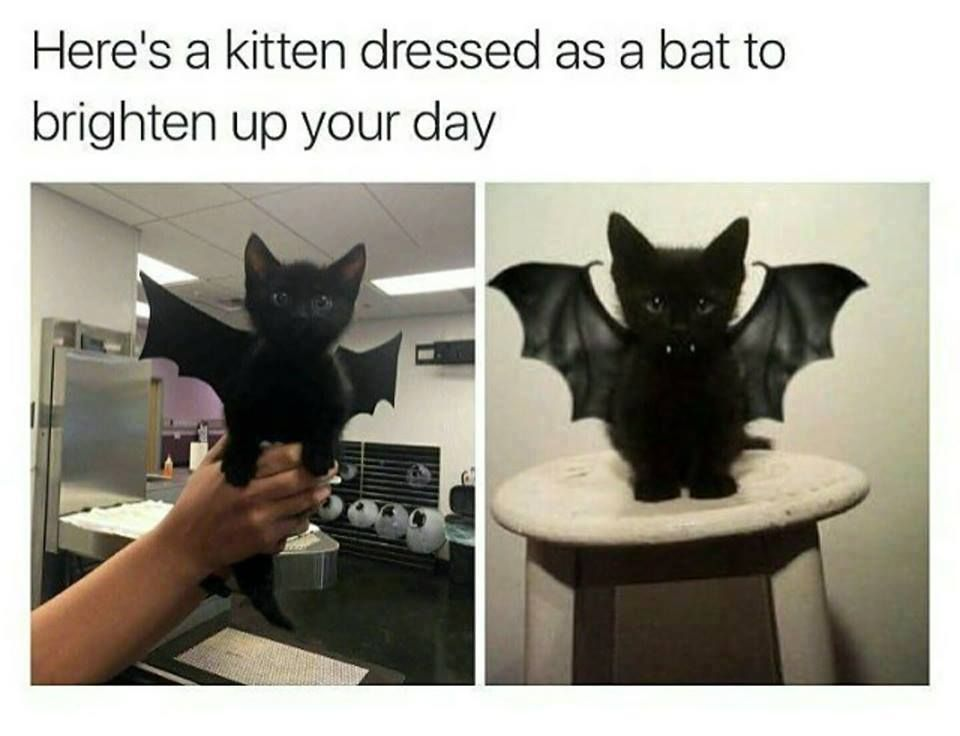 Batcat, terror of the night