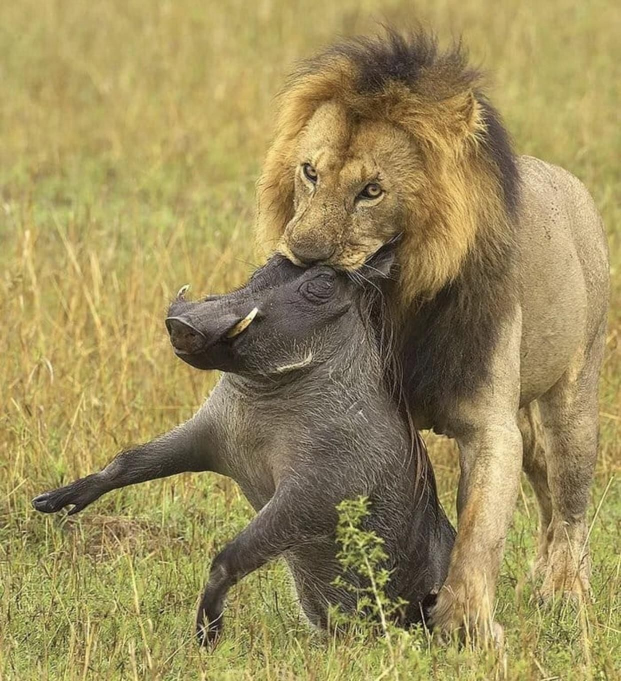 Unfortunately Lion King has been cancelled due to some conflict with the actors