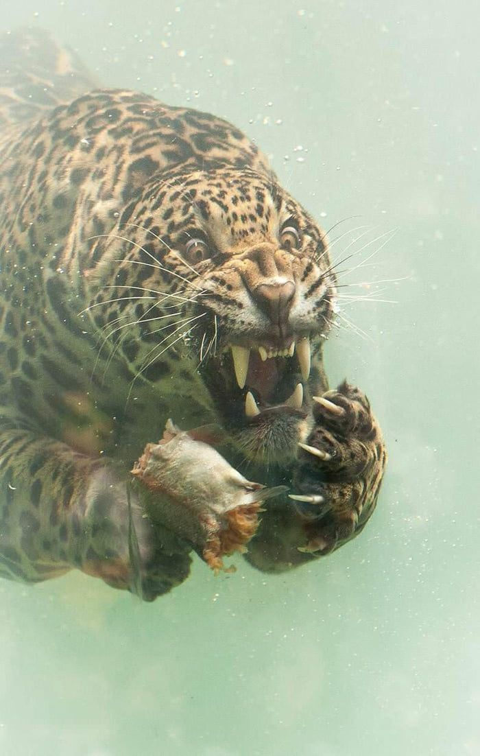 Underwater Jaguar