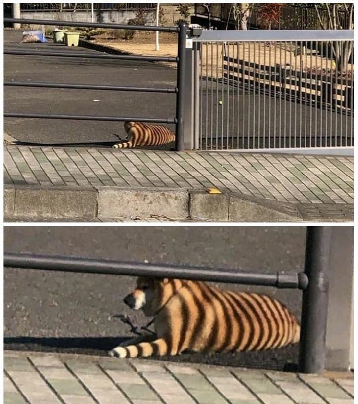 Look at the bengal tiger... no, no, wait...