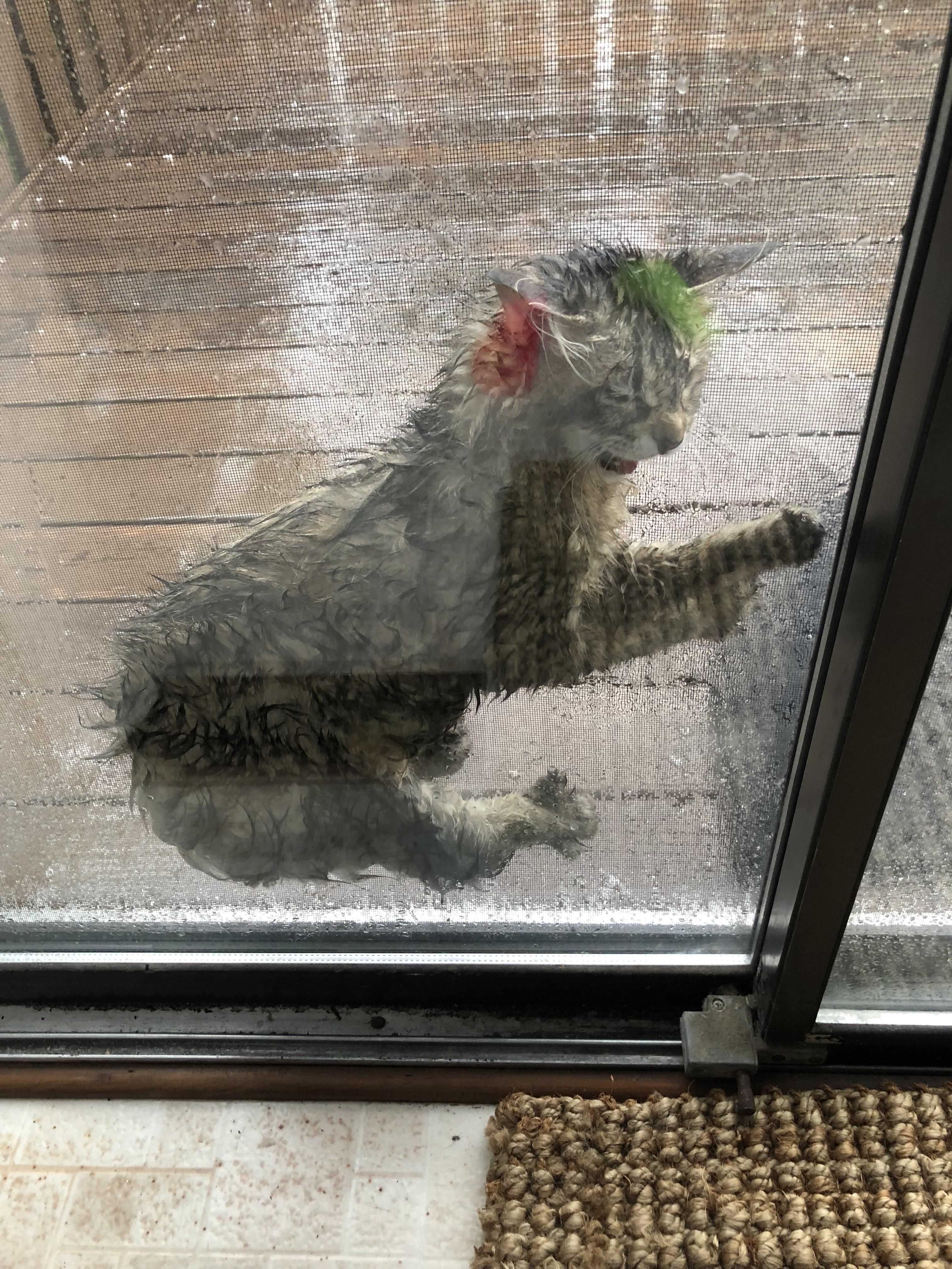 My cat wouldn't come in before I left for work even after I warned her about the incoming rain. This is what I saw as soon as I walked in the house. I'm pretty sure she learned a valuable lesson.