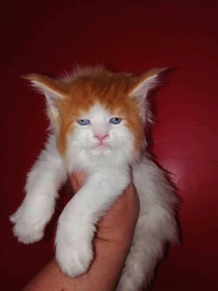 This cat looks like Ed Sheeran.