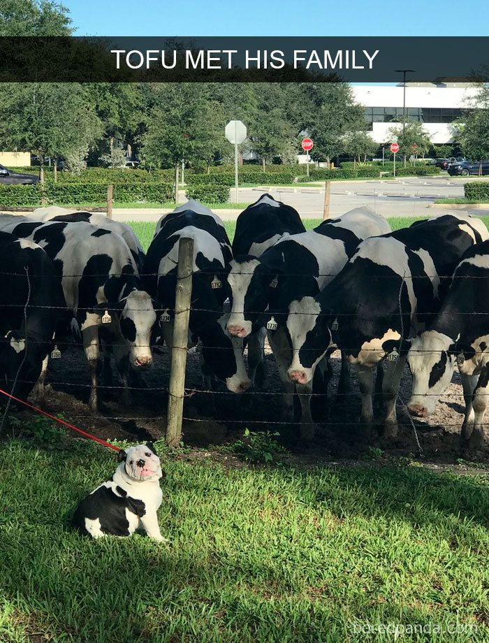Curious cows about their newest family member