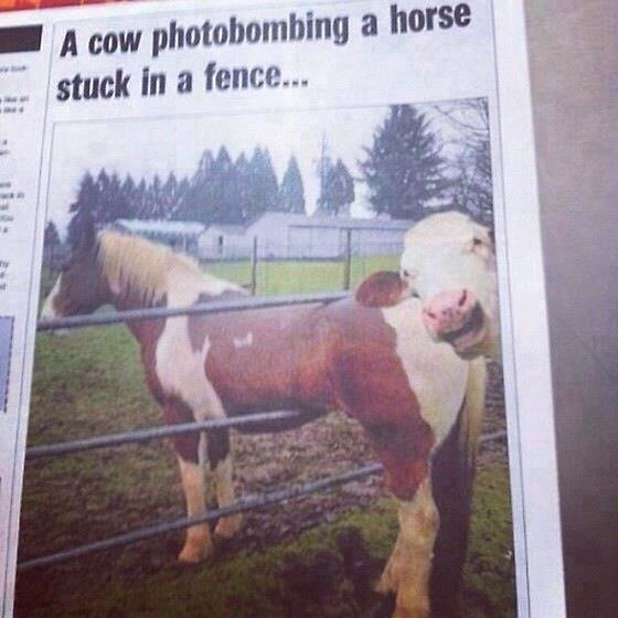 A cow getting in on the act.