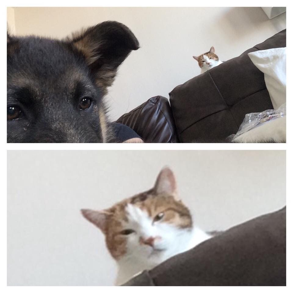 Friend just got a German Shepard puppy. Asked how her cat is getting along with him, and was sent this pic.