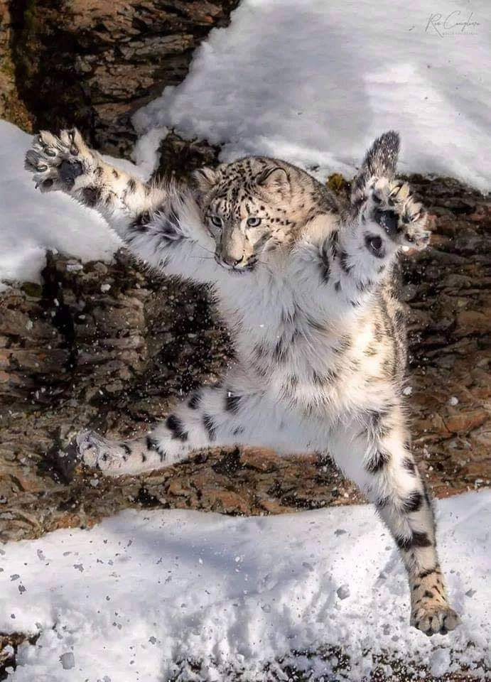 Caught in the Act. Leaping Snow Leopard