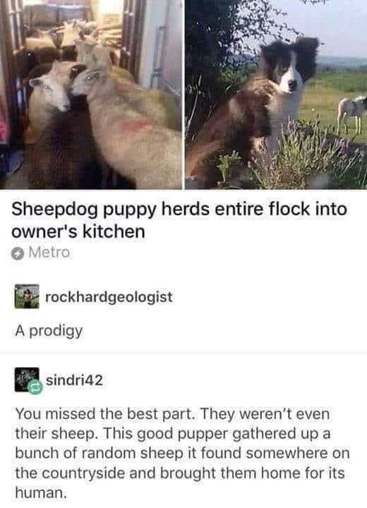 Sheepdog pup has proven his worth
