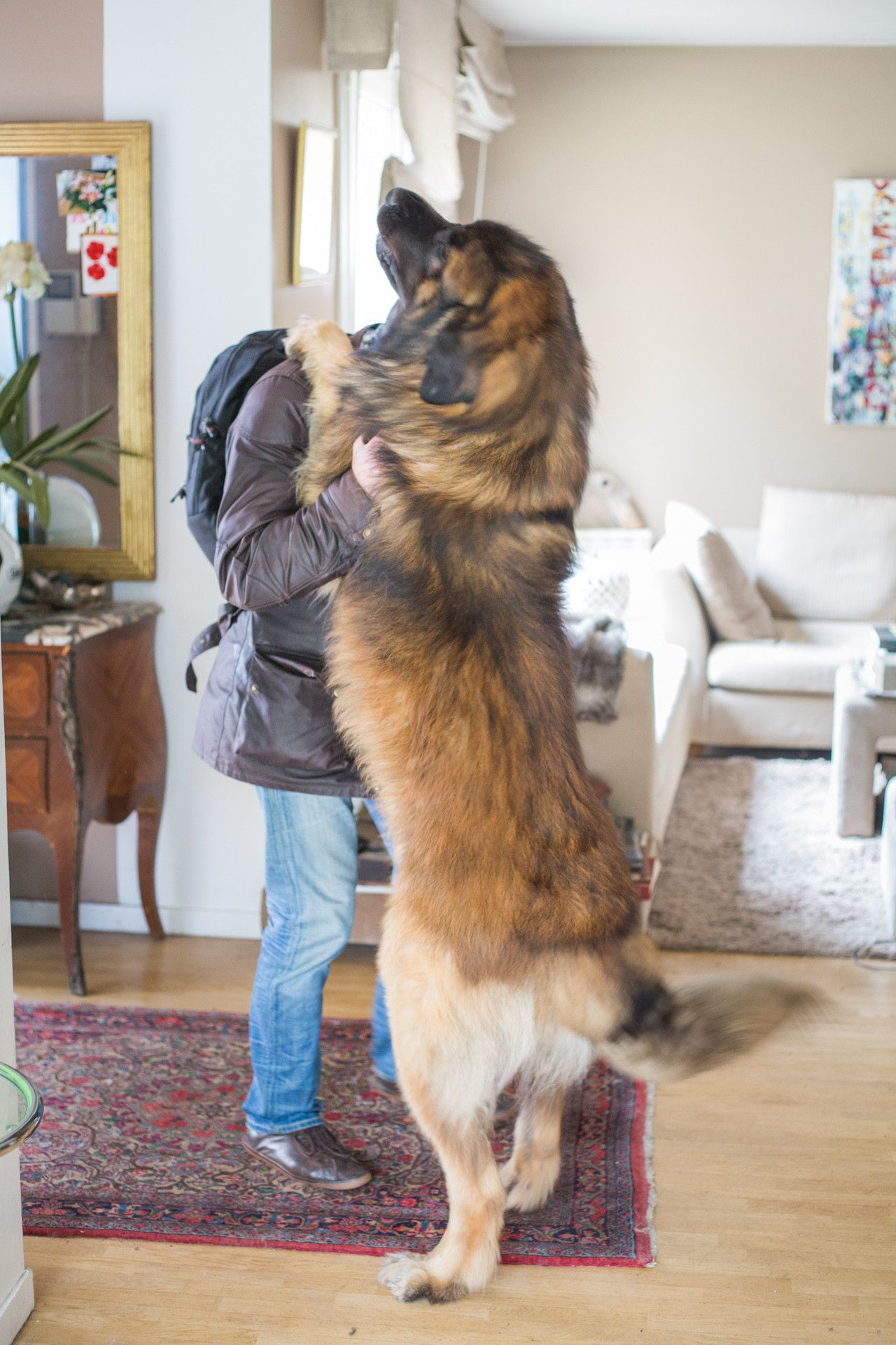 This is how my friend's dog greets guests