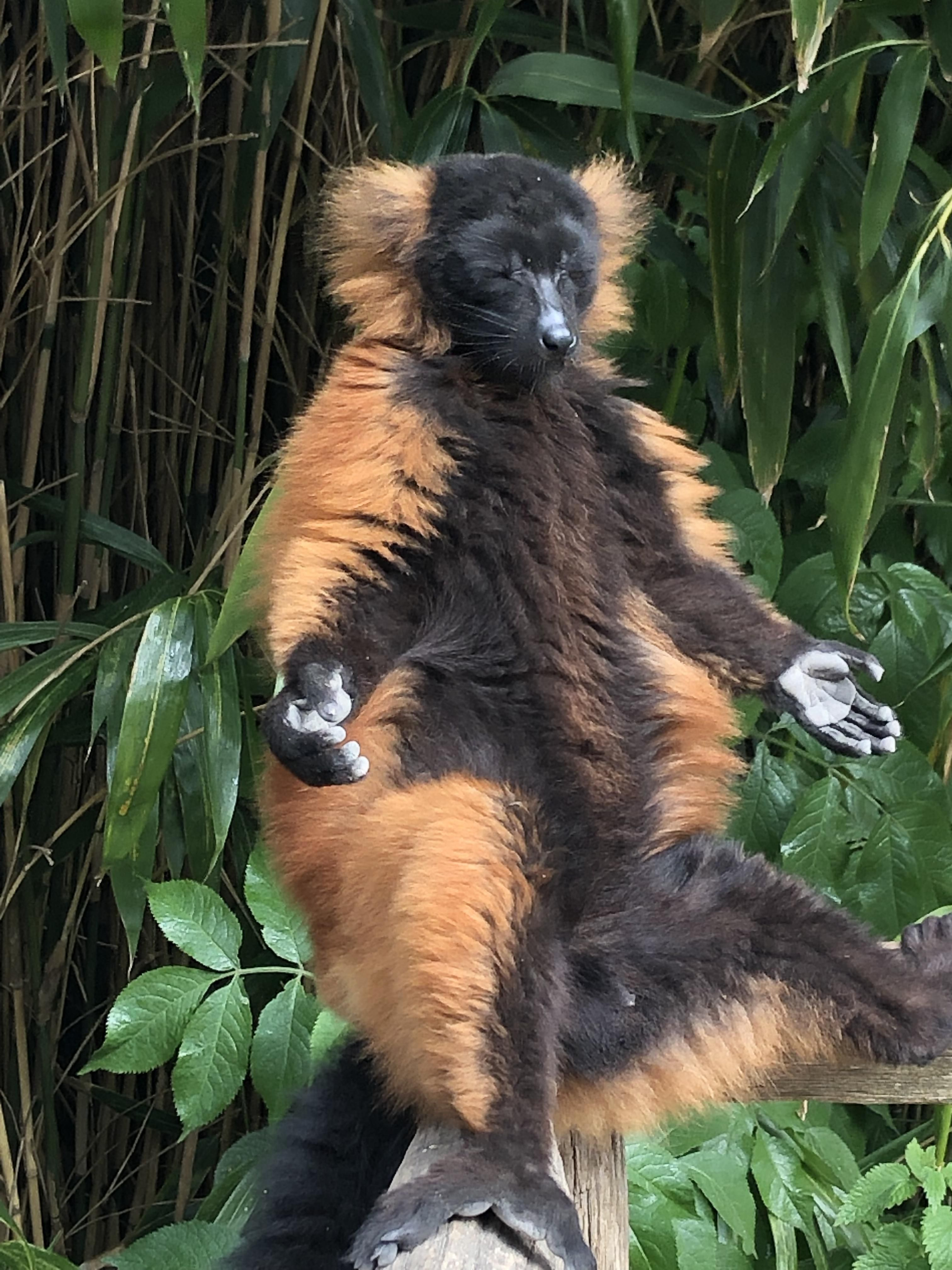Went to the zoo, found a red ruffed lemur finding his inner peace