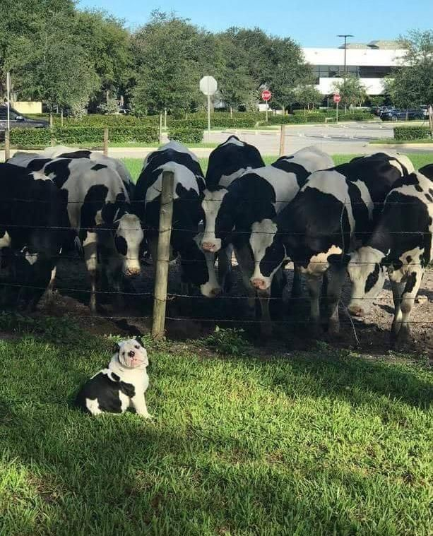 Cows see miniature cow