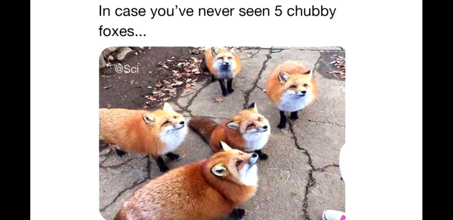 5 chubby foxes