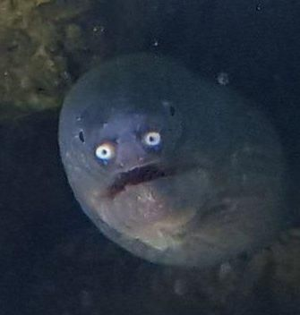 A moraay eel pictured from the front looks like it has a second face screaming to die.