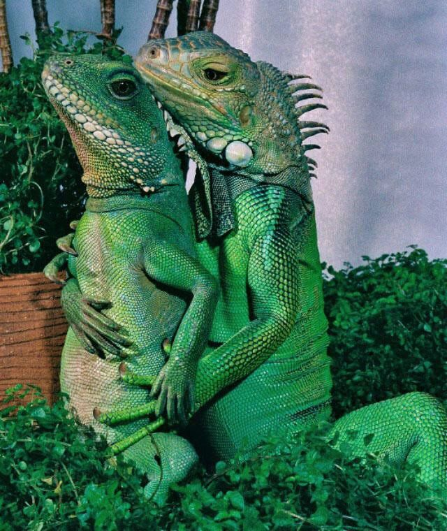 This iguanas doing a maternity photo shoot