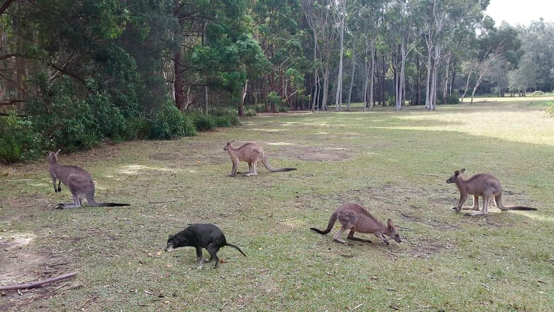 The rare black kangaroo.