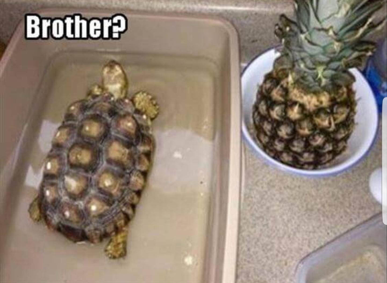 Pineapple + Turtle = ...Pineturtle?