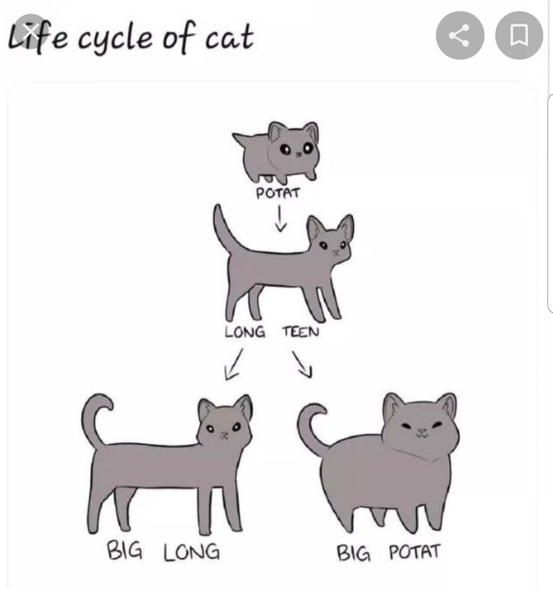 Lifecycle of cat