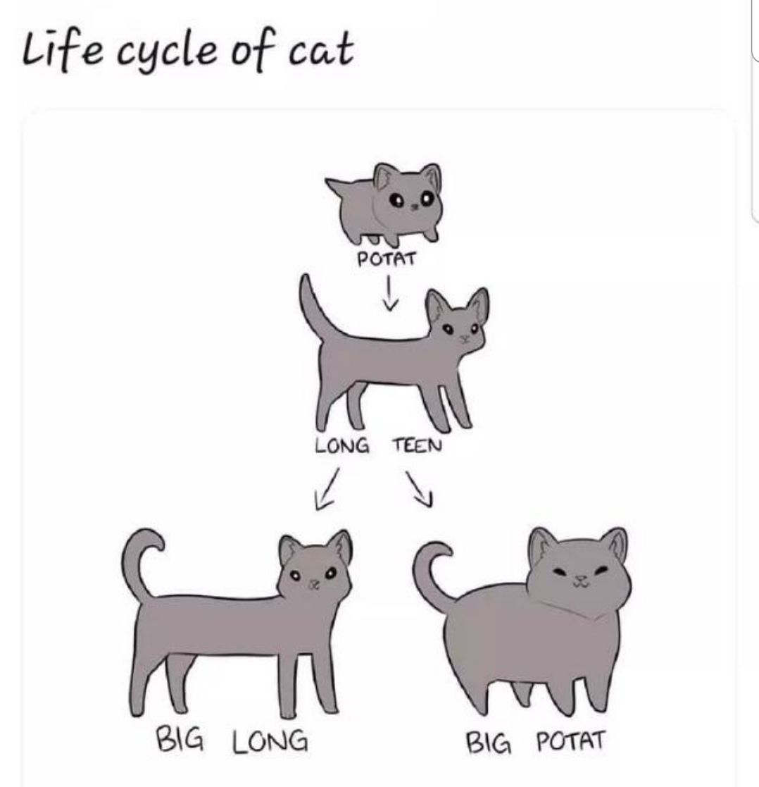 Life cycle of cat