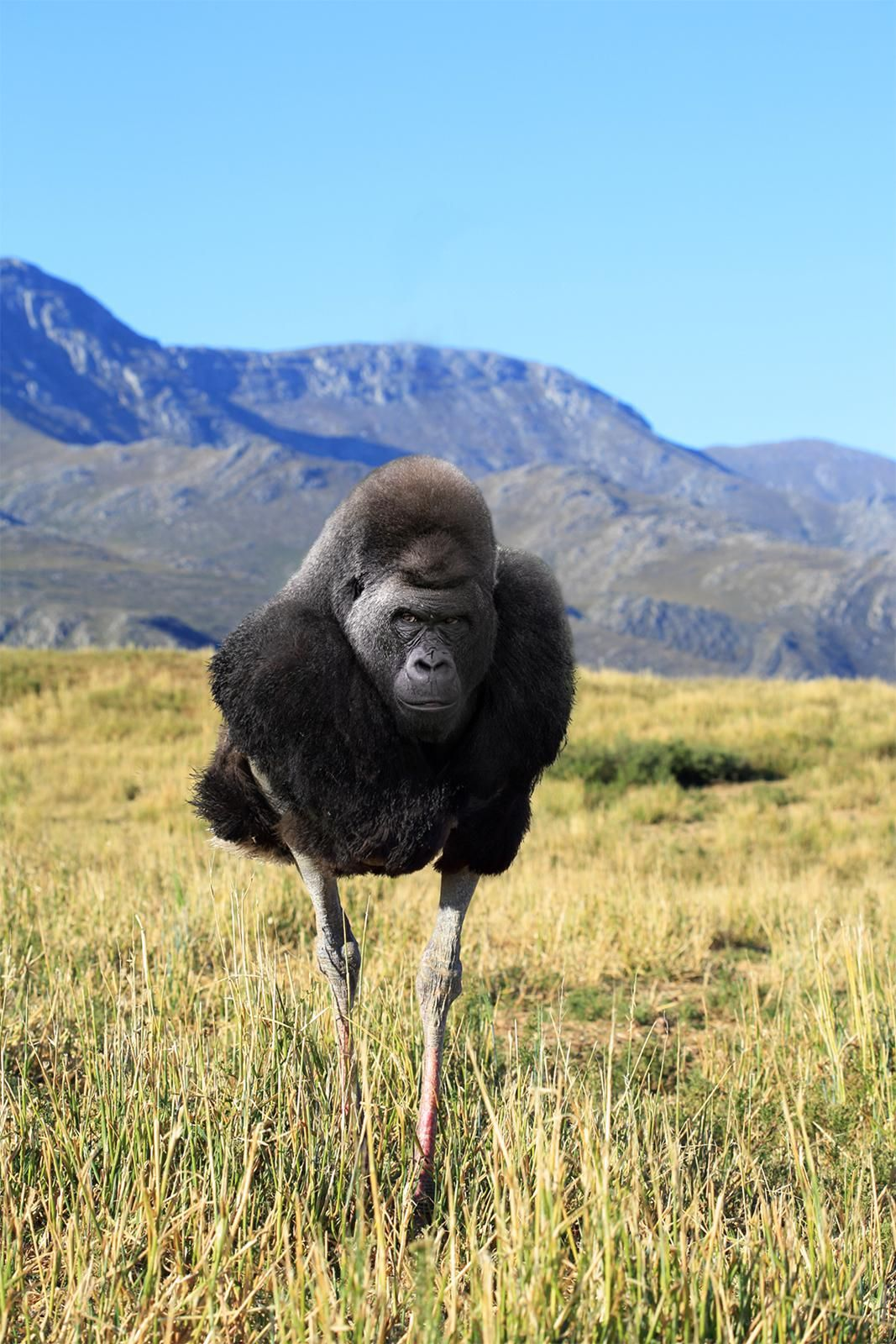 I mixed a gorilla with an ostrich for your amusement