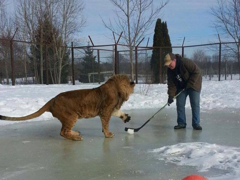 In Canada, even the lions play hockey!