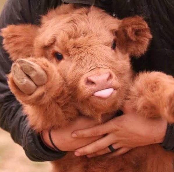 Adorable highland calf