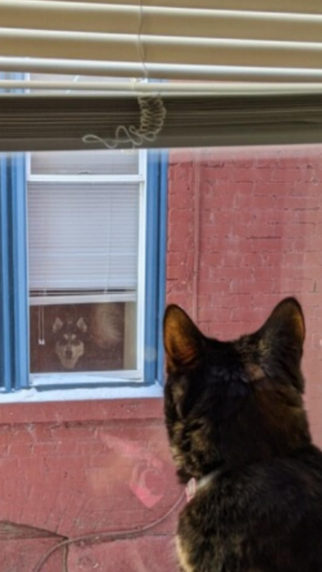 My cat and the neighbor's dog staring each other down everyday. This is their lives now...