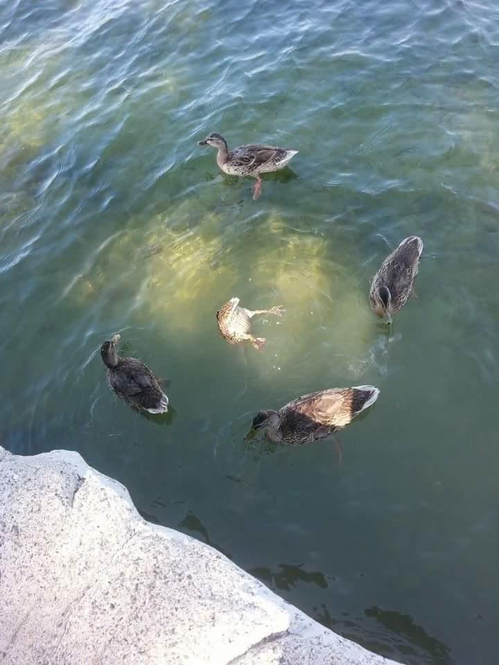 Some kind of satanic ritual by ducks?