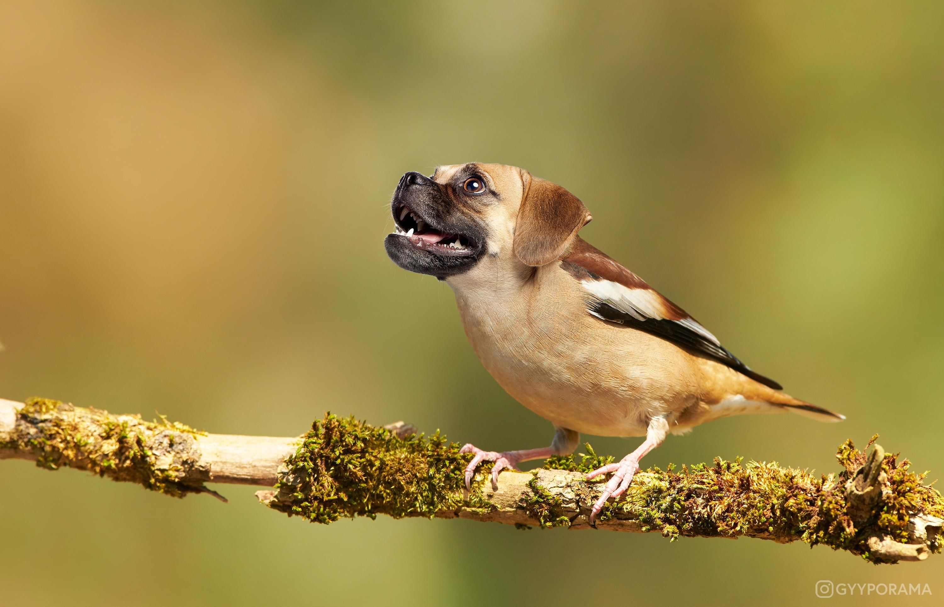 I mixed a finch with a puggle for your amusement