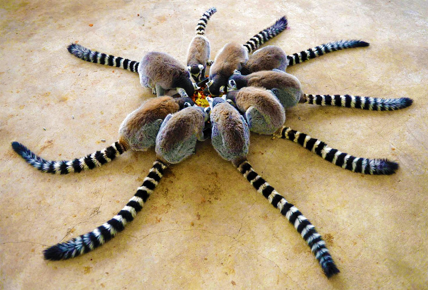 A group of lemurs is called a conspiracy