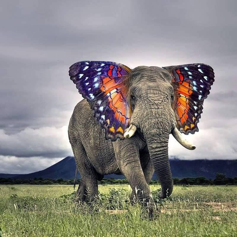 Monarch Elephant