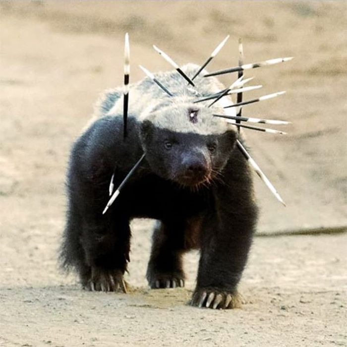 Honey badger doesn't care