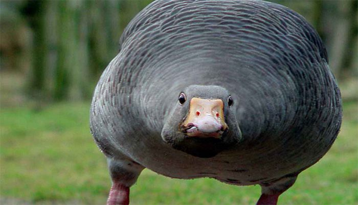 this goose wants your soul