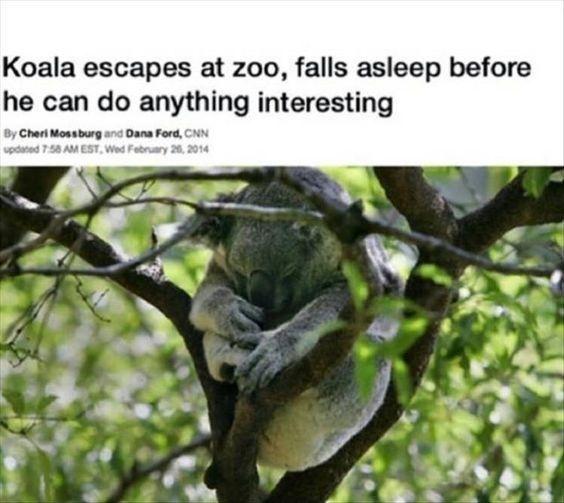 Koala is my new favorite animal