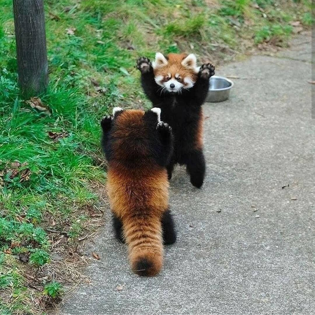 If cornered, red panda will stand on its hind legs and extend its claws to appear larger and threatening.
