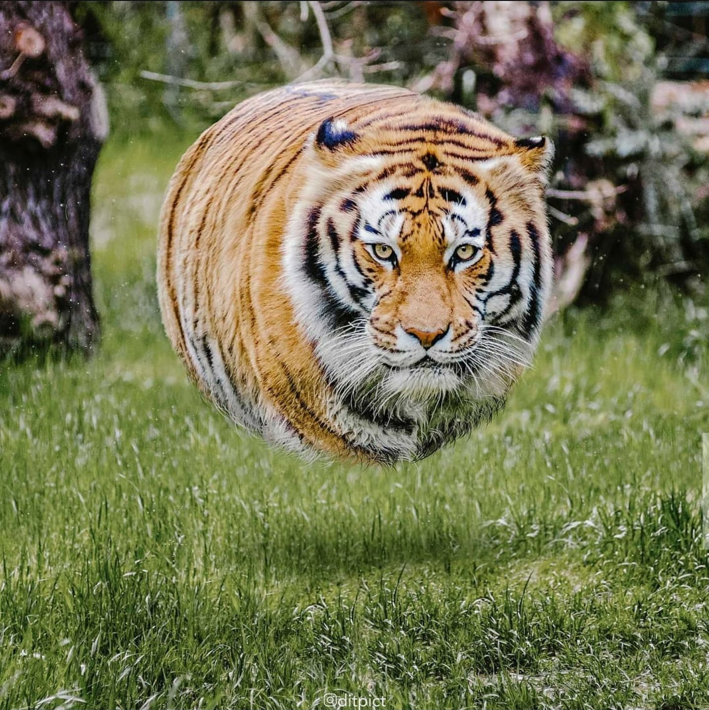 A Tiger without legs