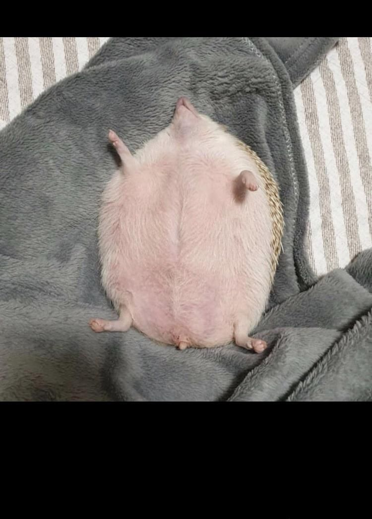 Hedgehog getting a afternoon nap in, look at that pink belly!